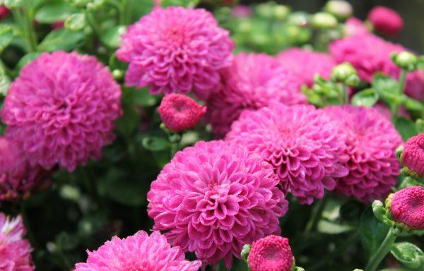 Garden Mum 'Gigi Dark Pink'