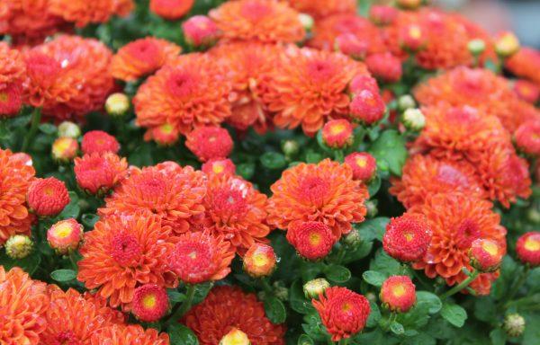 Garden Mum 'Gigi Orange'