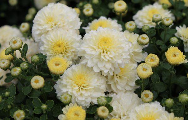 Garden Mum 'Gigi Snow'