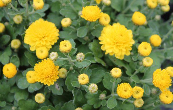 Garden Mum 'Gigi Yellow'