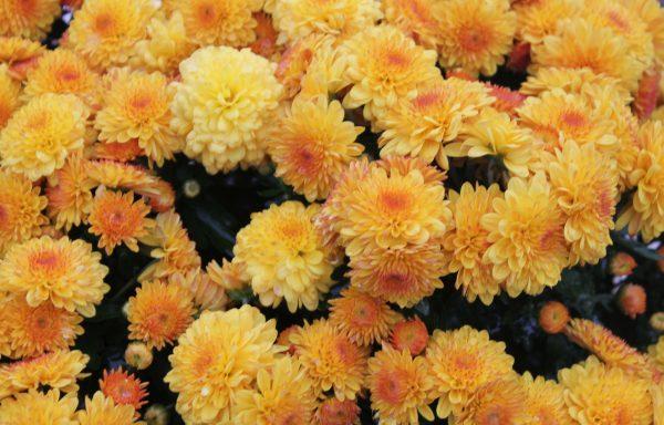 Garden Mum 'Golden Cheryl'