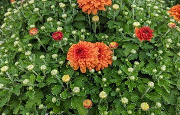 Garden Mum 'Hailey Orange'