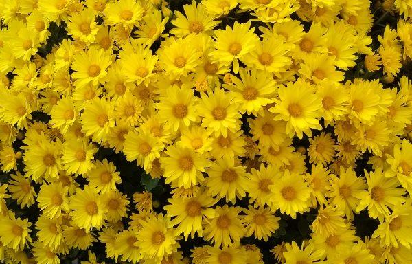 Garden Mum 'Hankie Yellow'