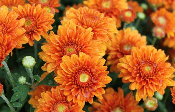 Garden Mum 'Hannah Orange'