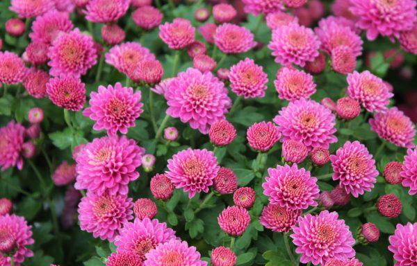 Garden Mum 'Jasoda Purple'