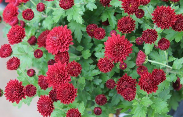 Garden Mum 'Jasoda Red'