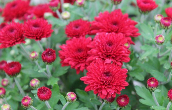 Garden Mum 'Red Ryder'
