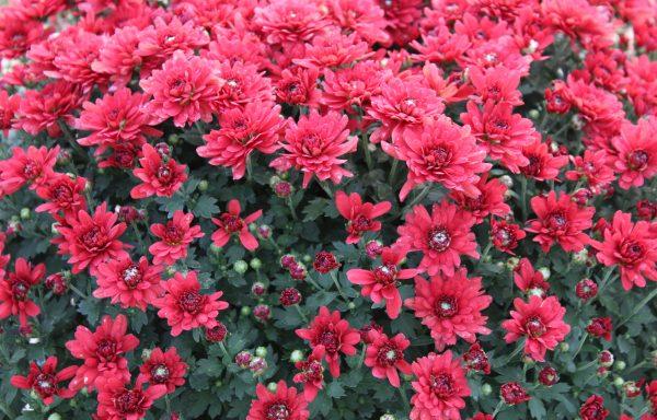 Garden Mum 'Savona Red'