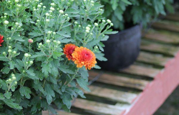 Garden Mum 'Spicy Cheryl'