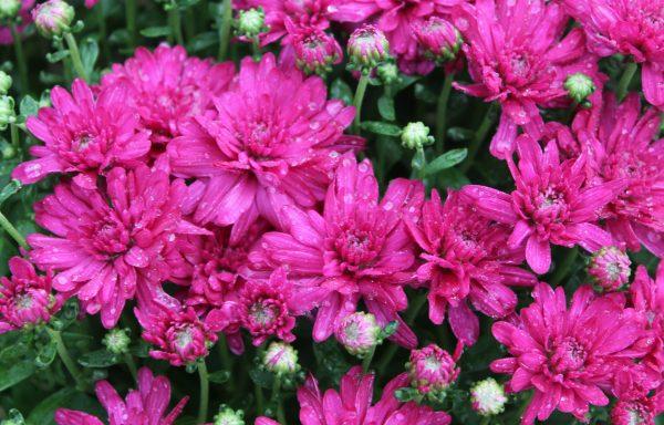 Garden Mum 'Wanda Purple'