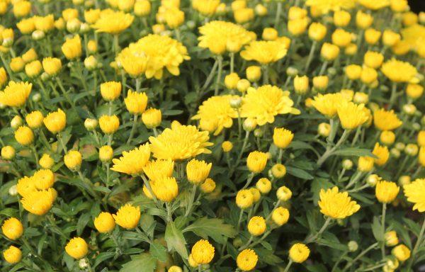 Garden Mum 'Yellow Tang'