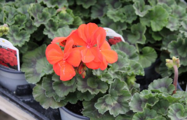 Geranium, Zonal 'Fantasia Orange' – (New For 2020)