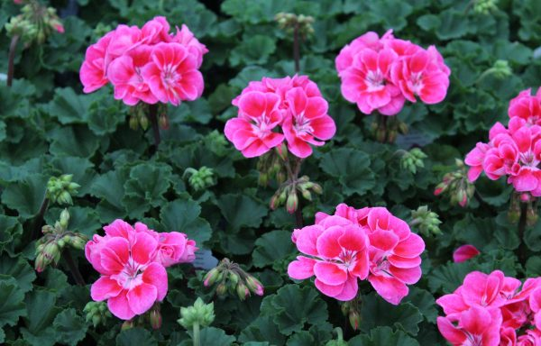 Geranium, Zonal 'Fantasia Strawberry Sizzle' – (New For 2020)
