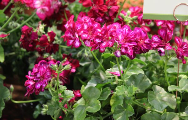 Geranium, Ivy 'Ivy League Burgundy Bicolor'