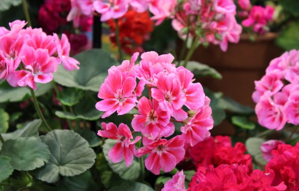Geranium, Zonal 'Dynamo Pink Flare' – (New For 2020)