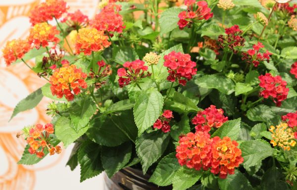 Lantana 'Hot Blooded Red' – (New For 2020)