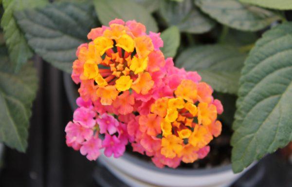 Lantana, Lucky 'Sunrise Rose'
