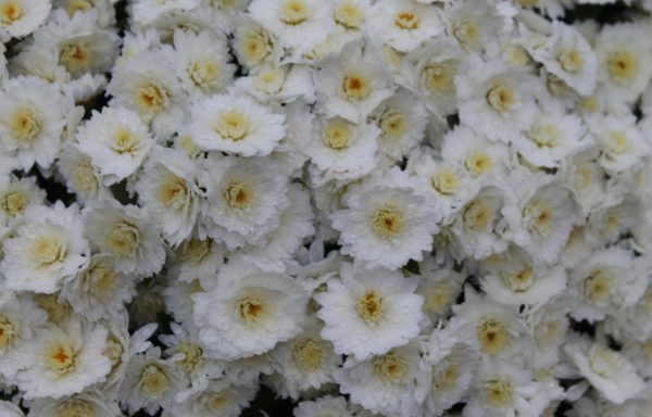 Garden Mum 'Butter N' Cream'