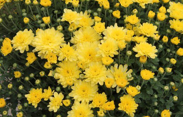 Garden Mum 'Chelsey Yellow'