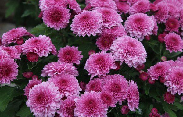 Garden Mum 'Cheryl Pink'