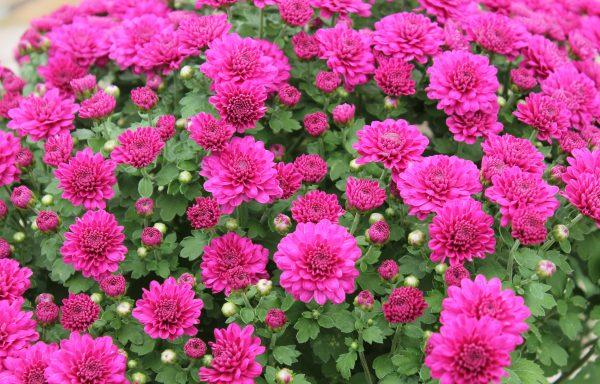 Garden Mum 'Danielle Purple'