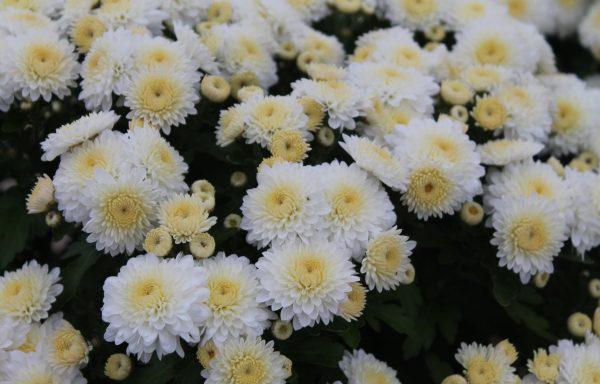 Garden Mum 'Frosty Cheryl'