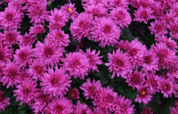 Garden Mum 'Jazzberry Pink'