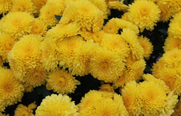 Garden Mum 'Sparkling Cheryl Yellow'
