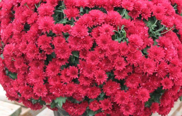 Garden Mum 'Wanda Red'