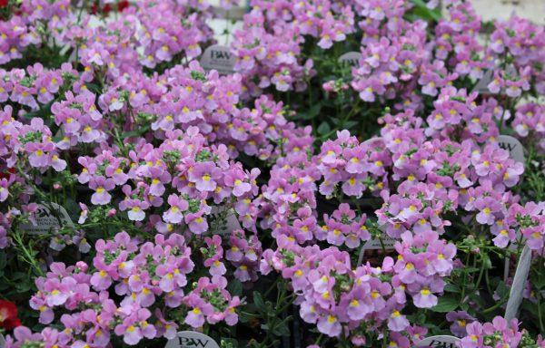Nemesia, Aromance 'Pink'