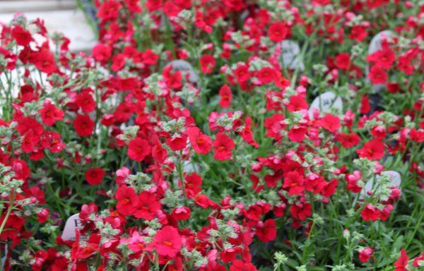 Nemesia, Sunsatia 'Cranberry Red'