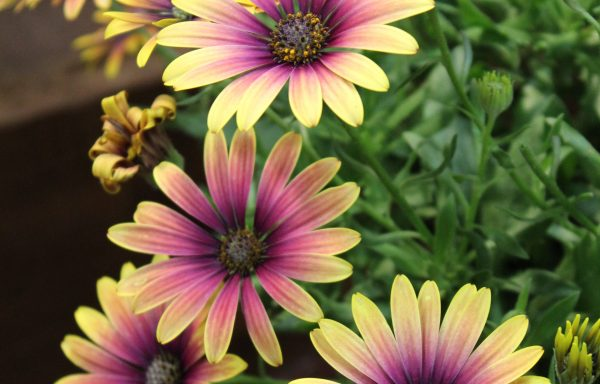 Osteospermum, Zion 'Purple Sun' – (New For 2020)