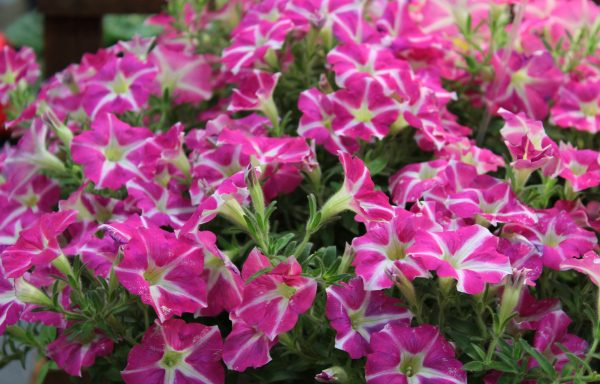 Petunia 'Amore Pink Heart' – (New For 2020)