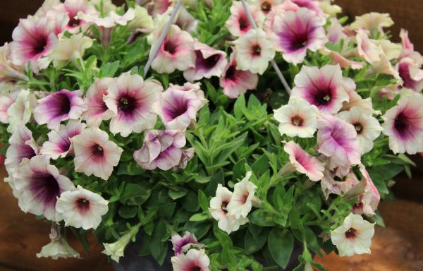Petunia, Crazytunia 'Rose Gold'