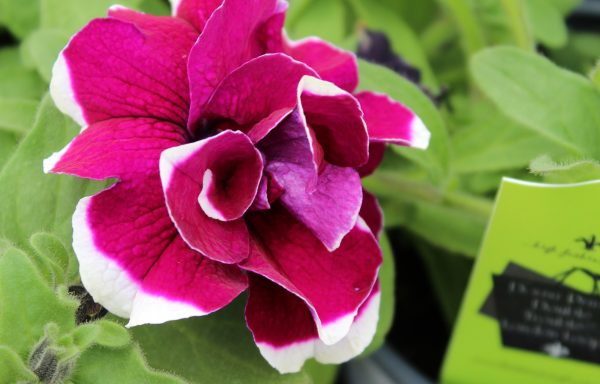 Petunia, Double Trouble 'London Loops'