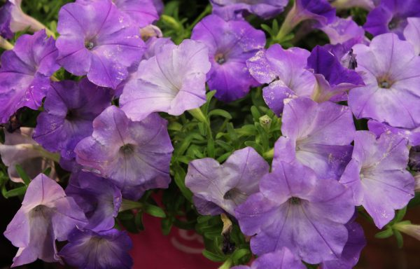 Petunia, Easy Wave 'Lavender Sky Blue'