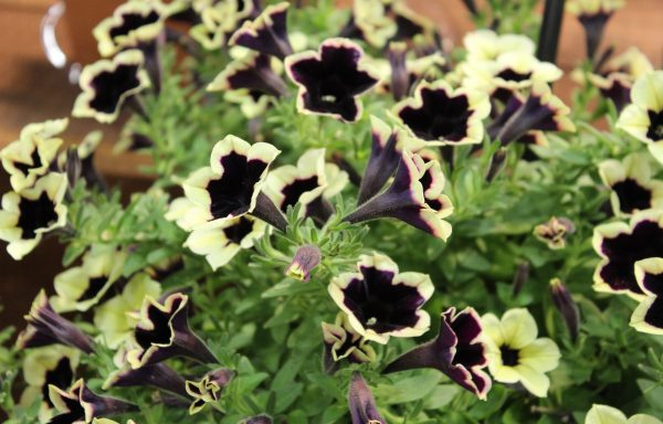 Petunia, Headliner 'Dark Saturn'