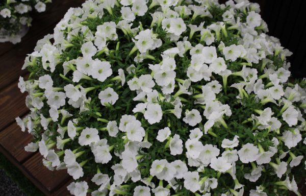 Petunia, Supertunia 'Vista Snowdrift'