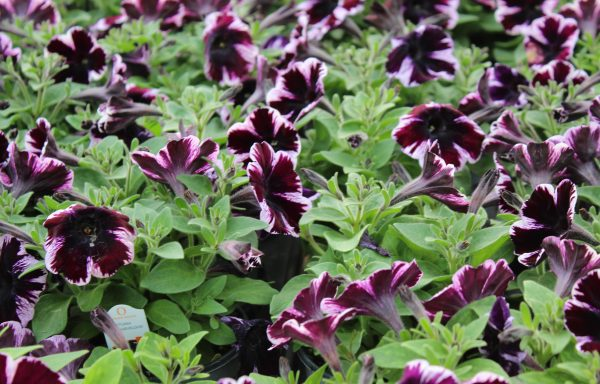 Petunia, Sweetunia 'Miss Marvelous'