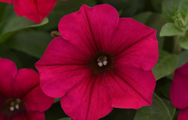 Petunia, Easy Wave 'Carmine Velour' – (AAS Winner)