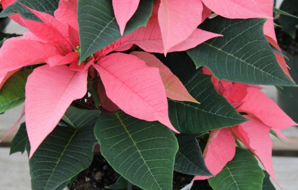 Poinsettia 'Majestic Pink'