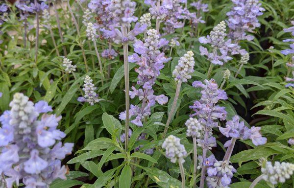 Salvia, Farina 'Silver Blue'