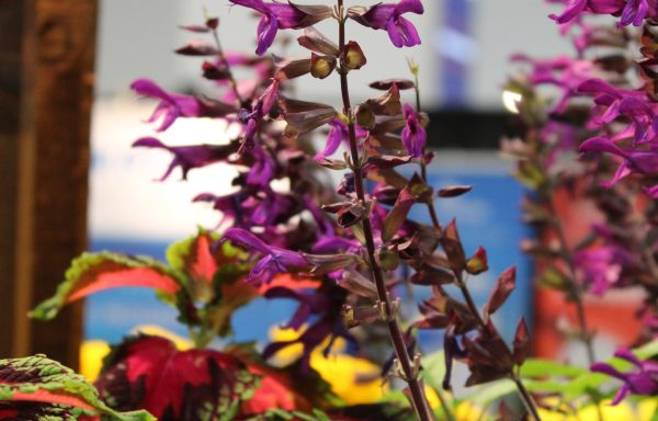 Salvia 'Purple And Bloom' – (New For 2020)