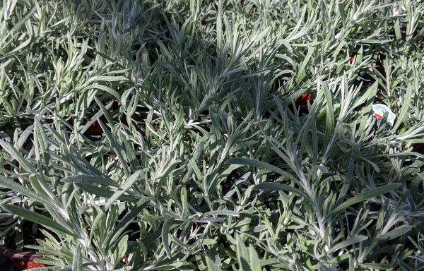 Helichrysum 'Silver Threads' – (New For 2020)