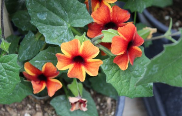 Thunbergia, Susy 'Amber Stripes'