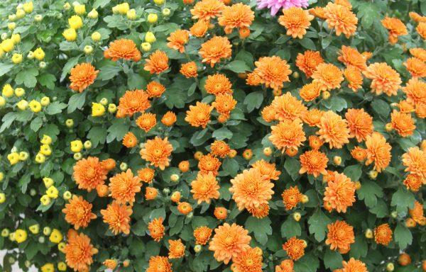 Tricolor Mum 'Pumpkin Spice'