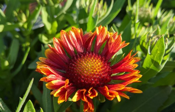 Blanket Flower, Spintop 'Copper Sun' -(New For 2020)