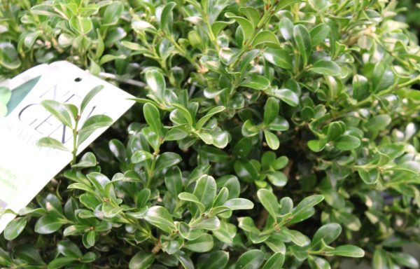 Boxwood, NewGen 'Freedom'®- (New For 2020)