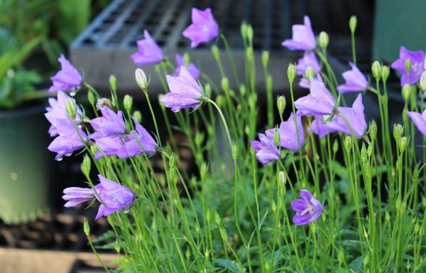 Bellflower 'Violet Teacups'