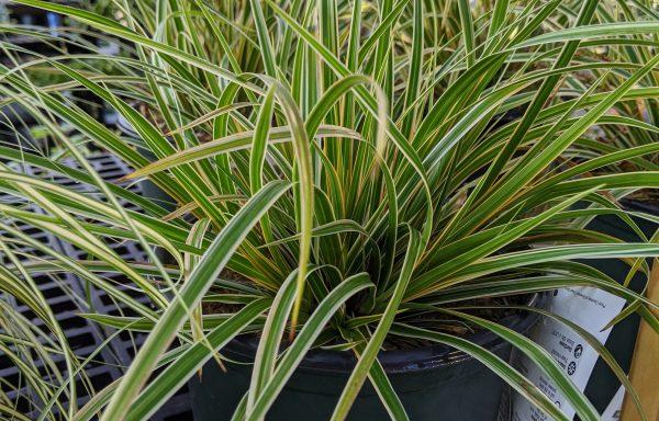 Grass, Sedge 'EverColor® Everglow'